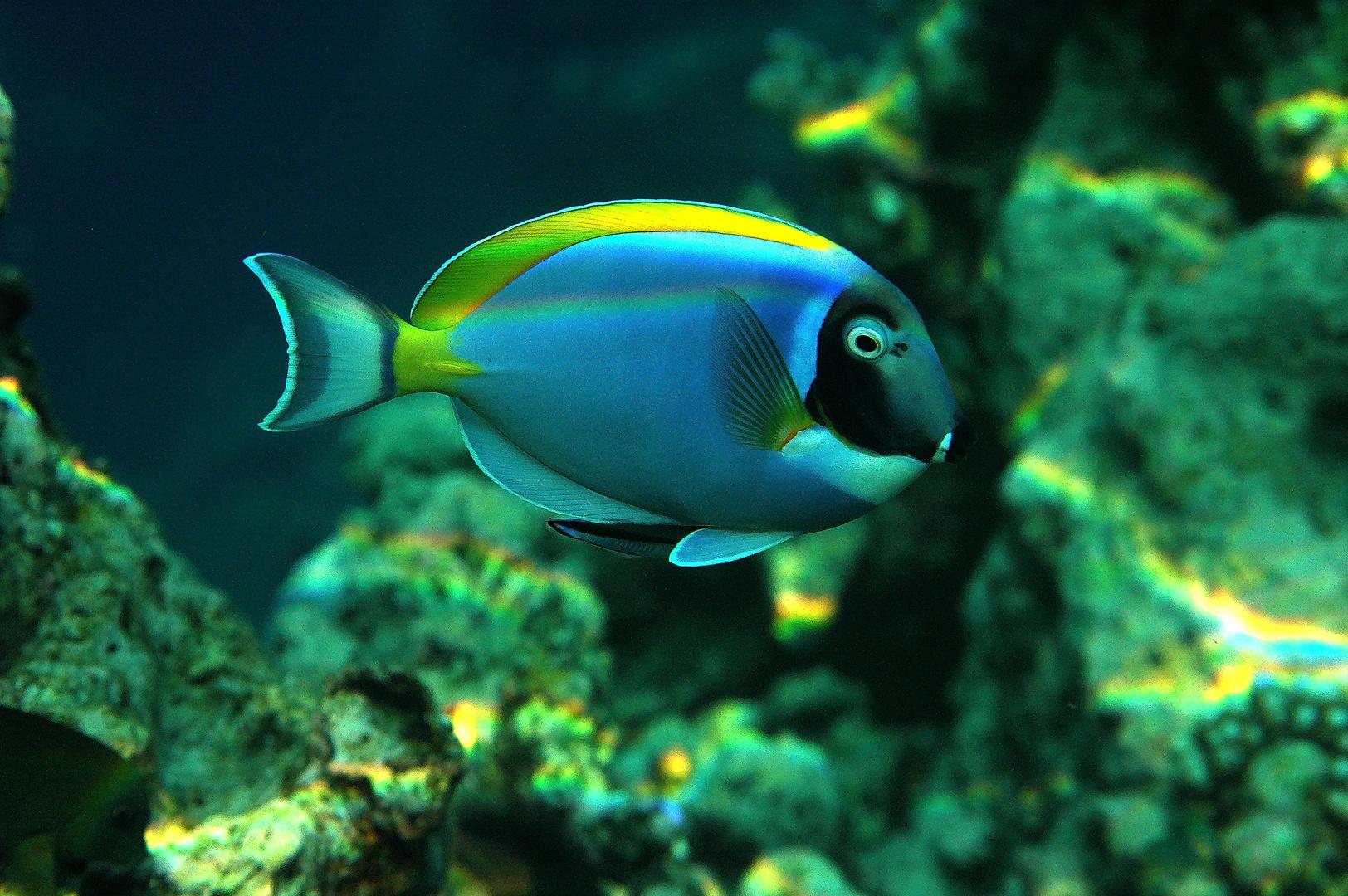 Doktorfisch auf den Malediven