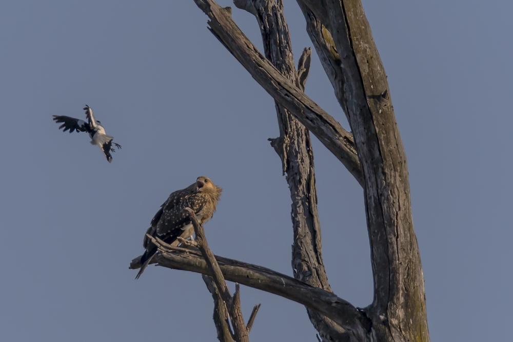 Doku am Morgen:ein Magpie - Iark im Abflug