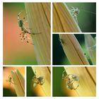 Doku - Collage Kürbisspinne