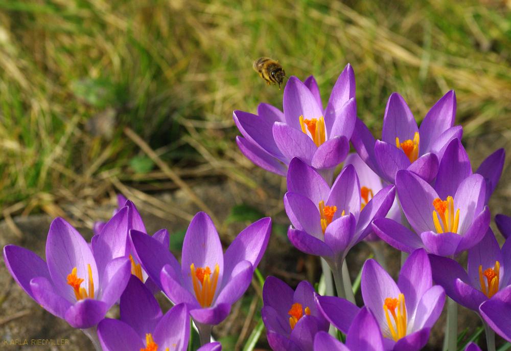 Doku von heute!!!! Biene mit Krokussen
