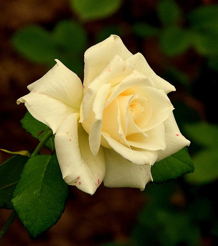 Dolce fiore........
