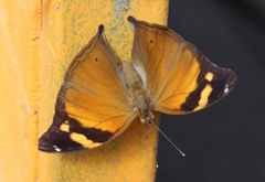 Doleschallia bisaltide- Herbstblatt