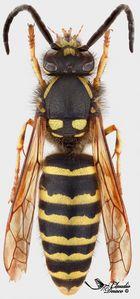 Dolichovespula adulterina (männchen)