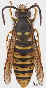Dolichovespula saxonica (männchen)