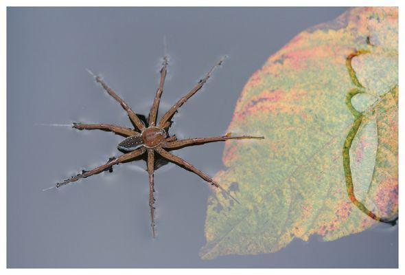 Dolomedes fibriatus [geränderte Jagdsopinne]