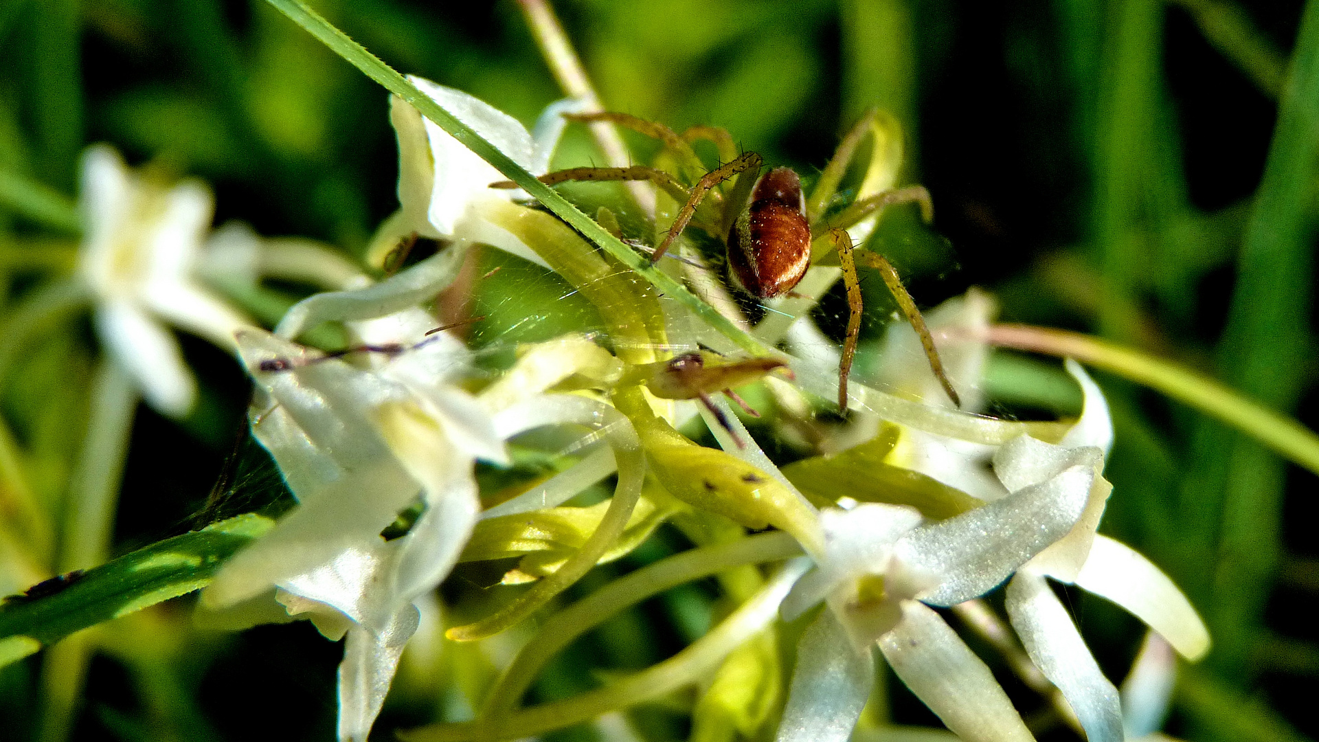 Dolomedes fimbriatus (Gerandete Jagdspinne) auf Plantanthera chlorantha (Grünliche Waldhyazinthe)