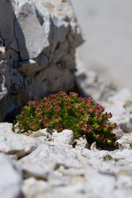 Dolomiten, Pflanze