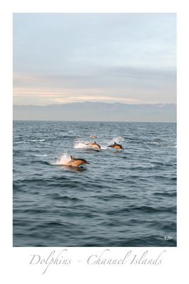 Dolphins - Channel Islands - California 1
