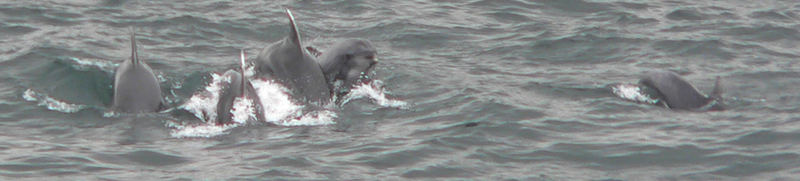 Dolphins-pictured near Karakoy pier, istanbul