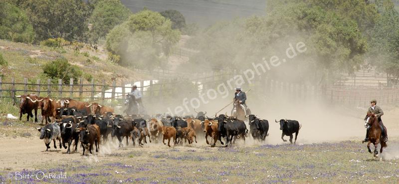 Doma Vaquero en el Campo