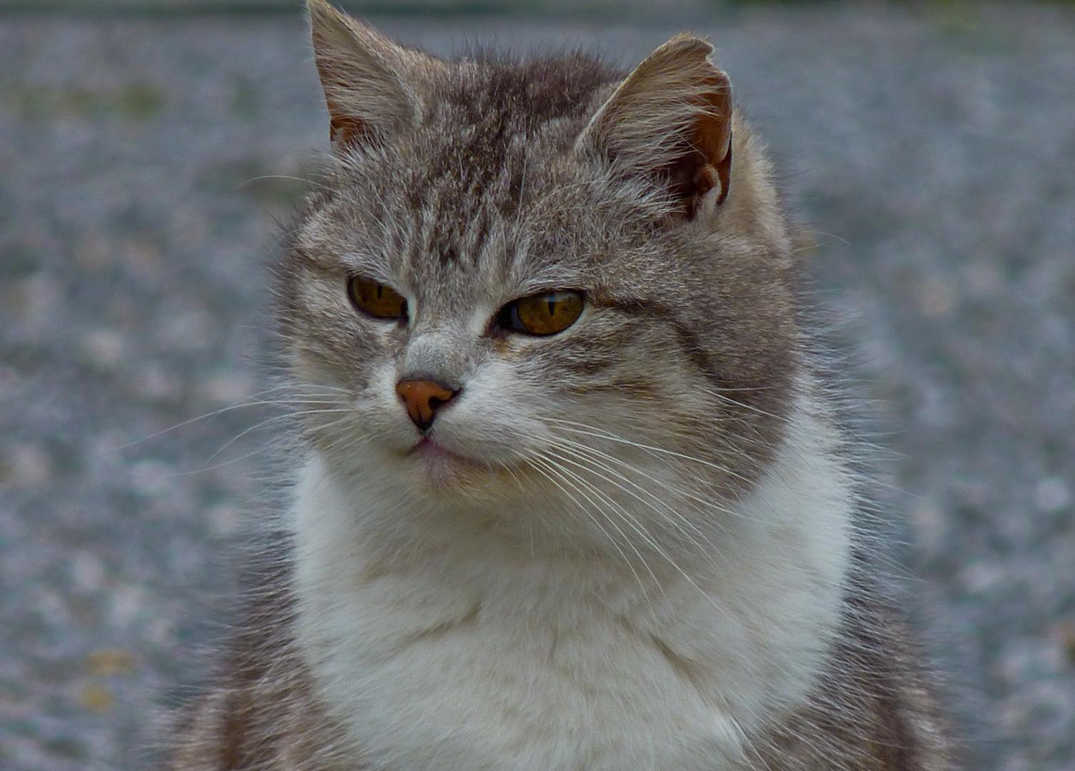 Domestic Cat of Beauty