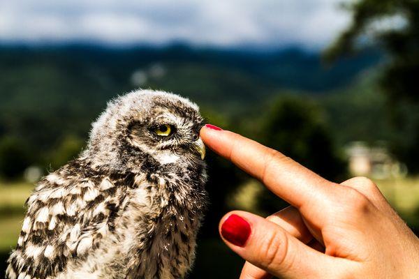 Domestic Owl
