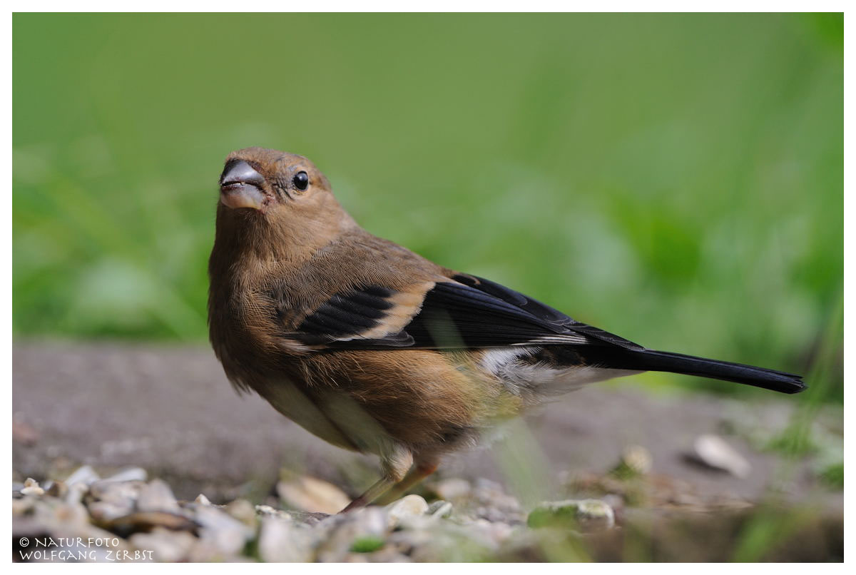 ---- Dompfaff weibl. Jungvogel ----- (Pyrrhula pyrrhula)