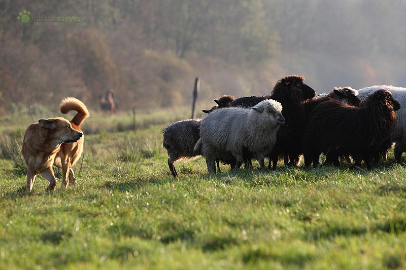 Don beim Schafe schubsen