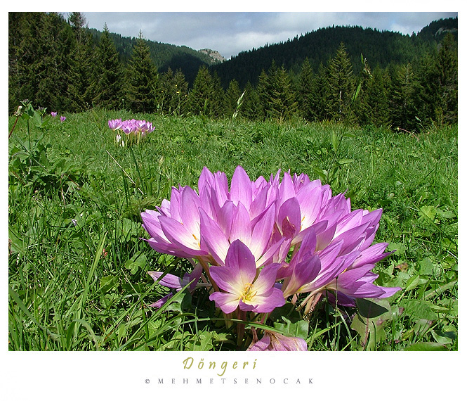 DONGERI FLOWERS