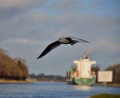 Donnerstag-Mittag-Nord-Ostsee-Kanal-Möwe