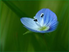 Don't forget me-Blume...