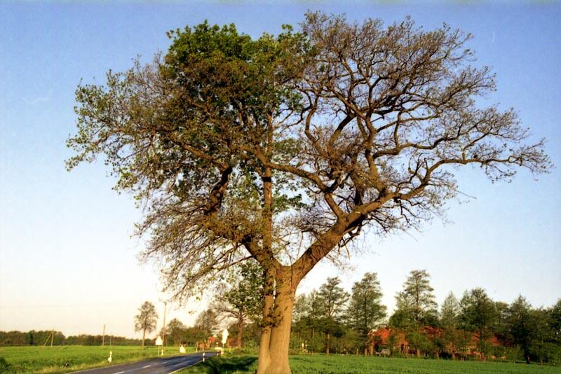 Doppeleiche, obwohl aus einem Stamm ist der kleinere Teil der Baumkrone schon grün.