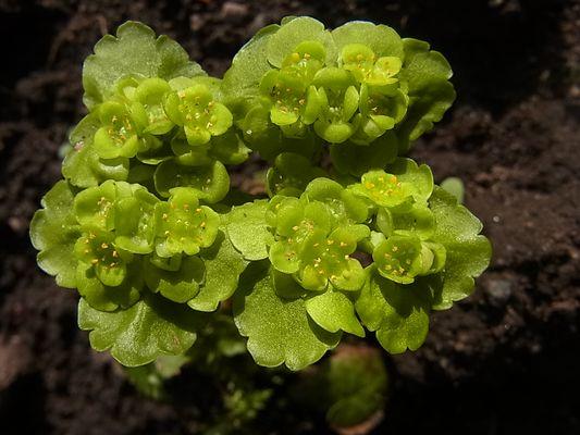 dorine à feuilles alterne (Wechselblättriges Milzkraut)