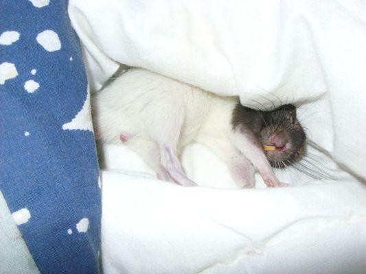 Dormir comme un rat....