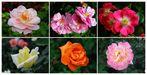 Dornburger Rosen