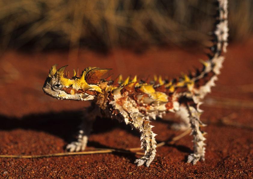 Dornenteufel - Moloch horridus Foto & Bild   australia