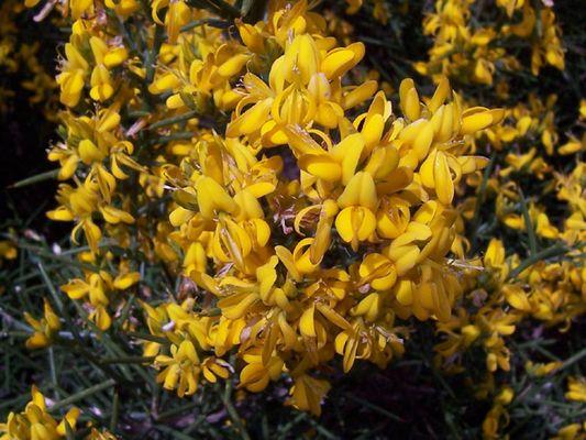 Dornginster-Blüten