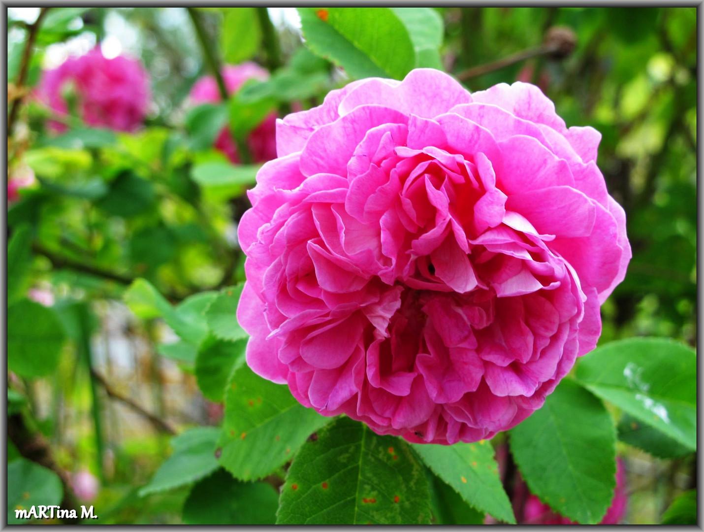 Dornröschens Rosenhecke
