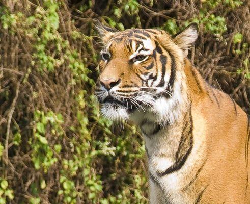 Dortmunder Tiger
