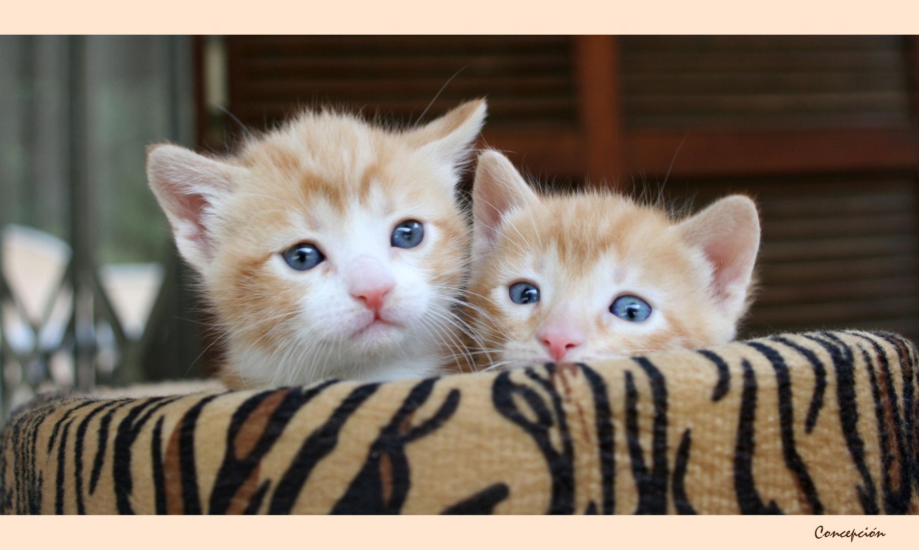 dos gatitos que .....