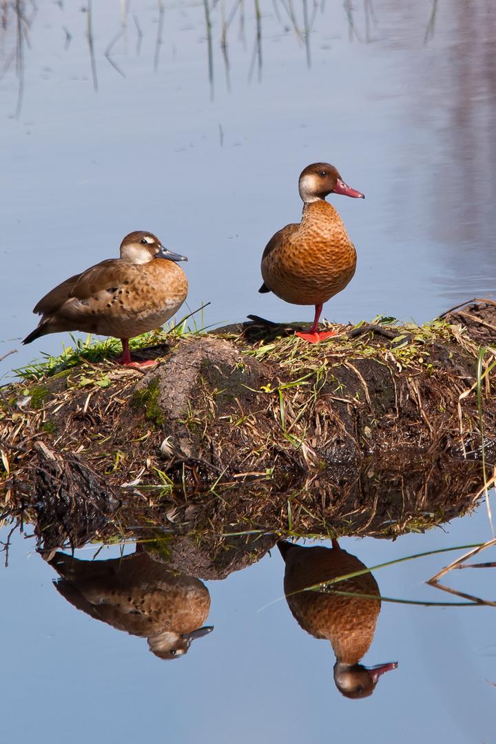 Dos patos en una pata