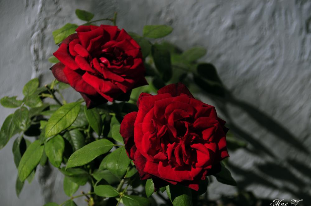 Dos Rosas Rojas