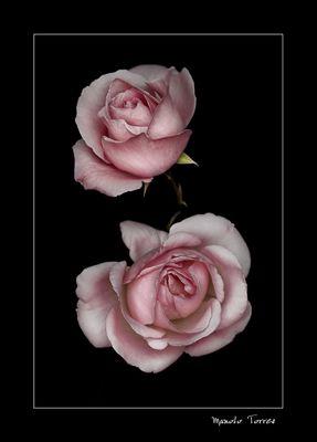 Dos rosas rosas (para Ana Vera)