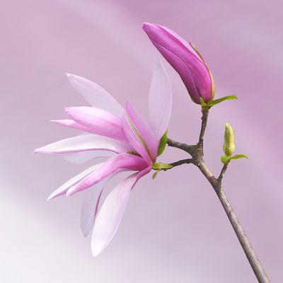 douceur du magnolia