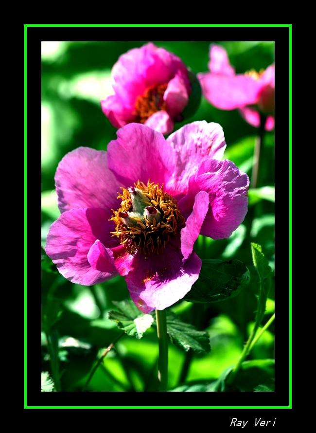 douceur rosée