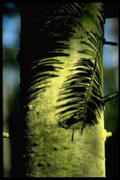 Douglasie mit Schatten und Ameisen