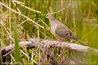Dove In The Wild