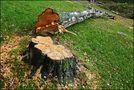 downed birch von Anca Silvia B.