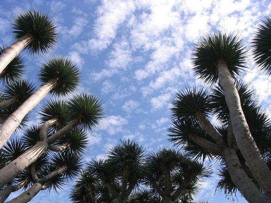 Drachenbäume
