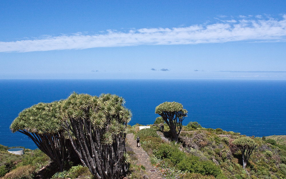 Drachenbäume bei Las Tricias