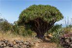 Drachenbaum bei Las Tricias
