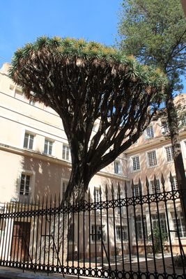 Drachenbaum in Cadiz