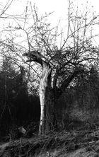 Drachenbaum monochrom