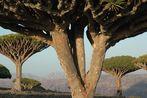 Drachenblutbäume