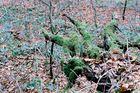 Drachenklaue im Wald