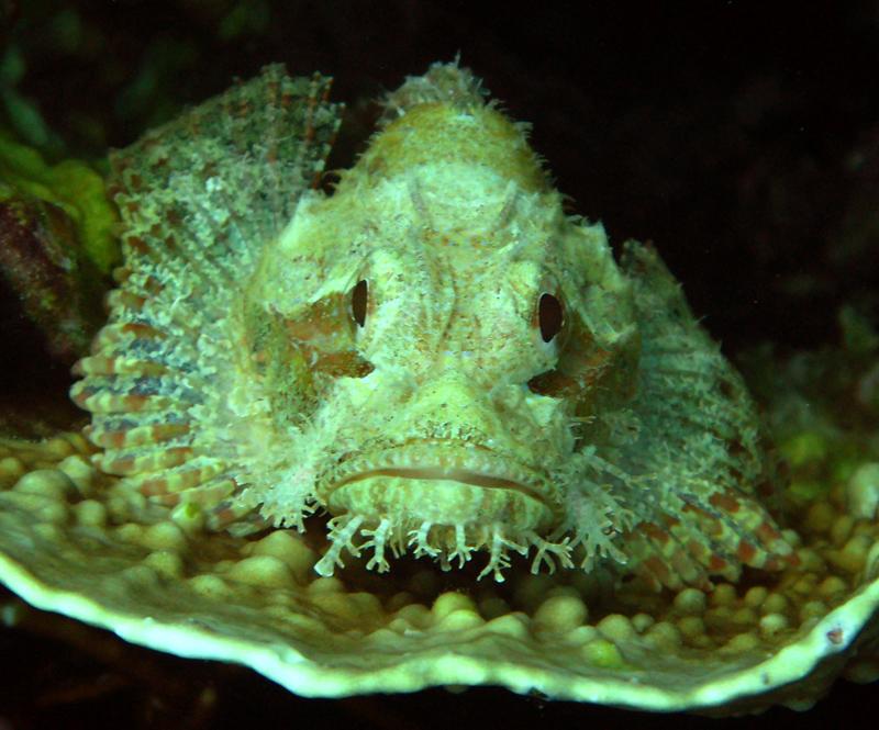 Drachenkopf oder Skorpionsfisch