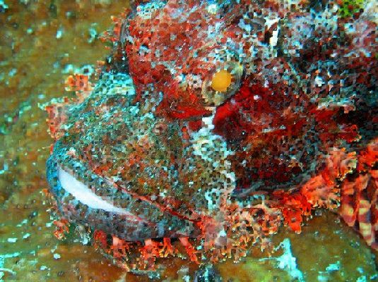 Drachenkopf (Scorpionfisch)