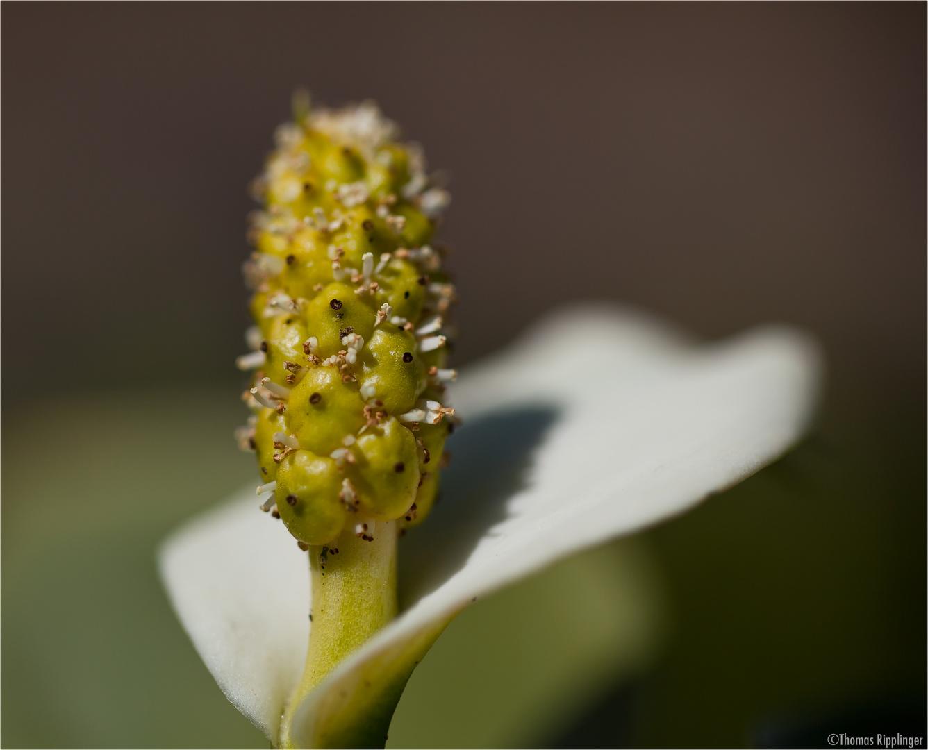 Drachenwurz (Calla palustris).