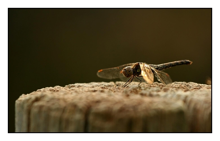 **Dragon fly**
