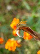 Dragon Fly...enfatuado de naranja